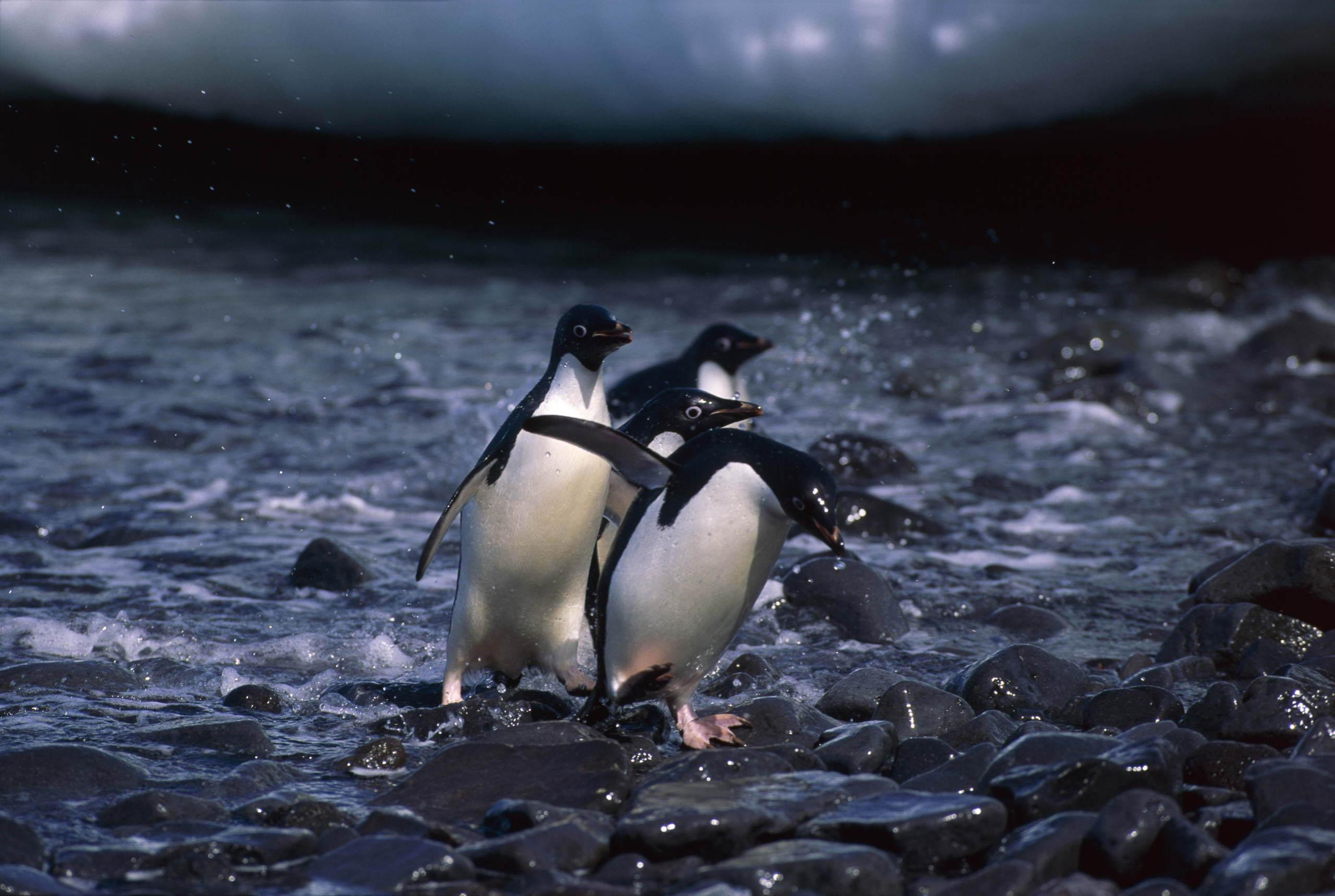 Пингвины на камушках  № 2020574 без смс