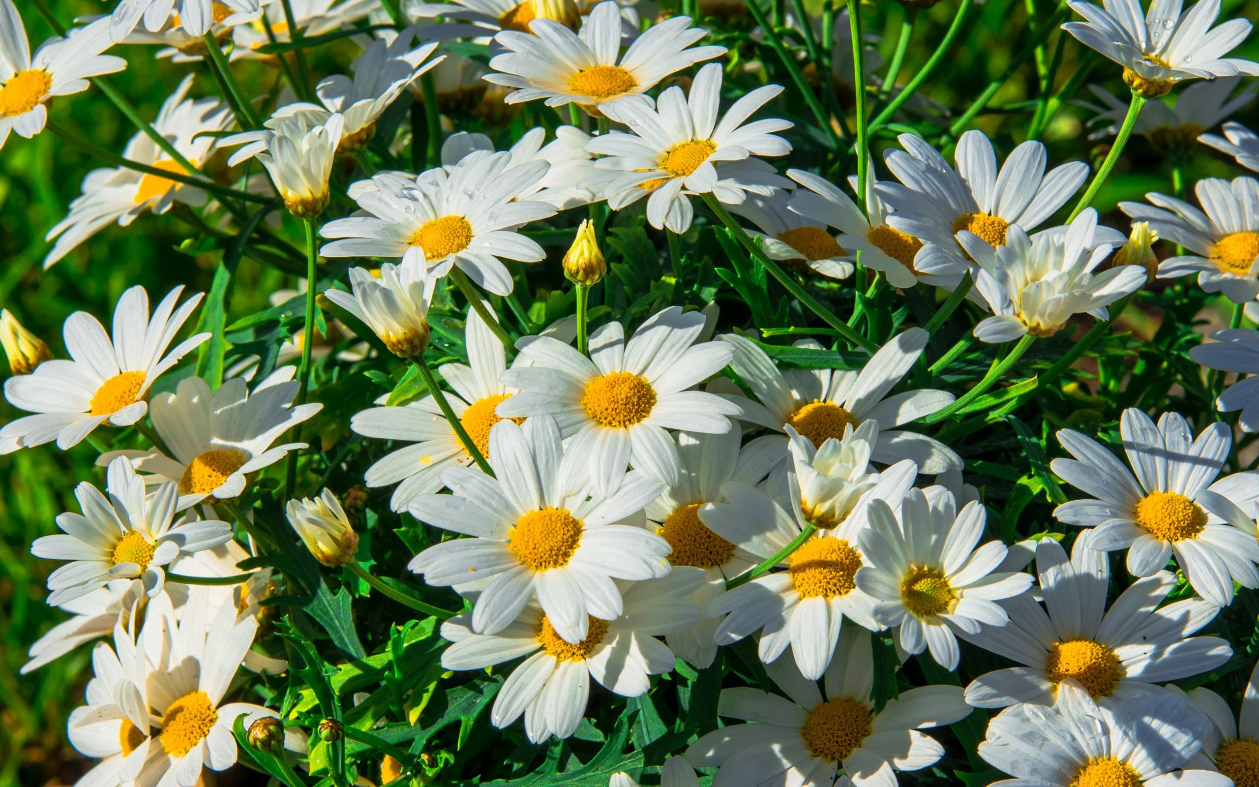Цветы ромашки красивые картинки
