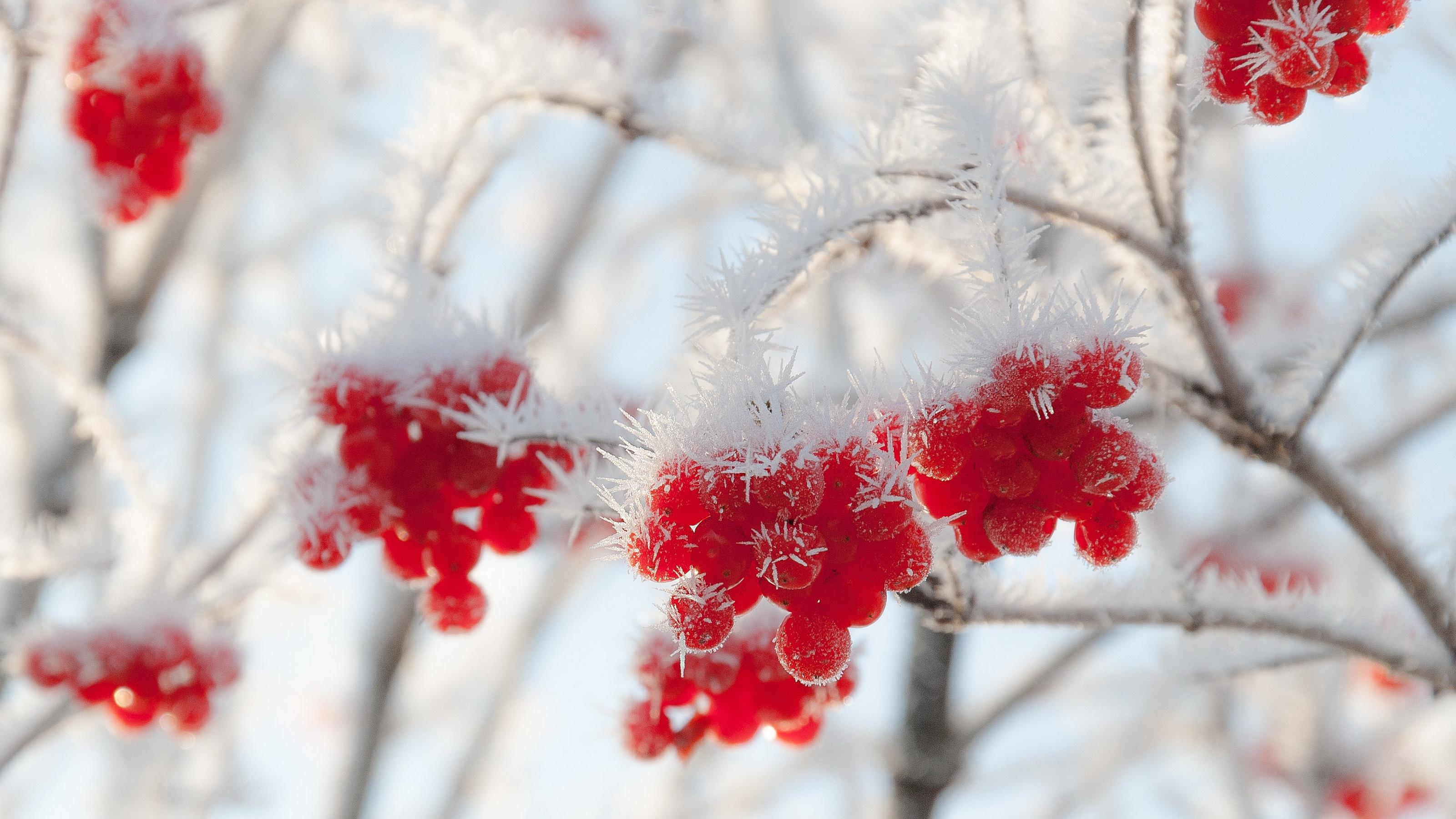 природа мороз рябина зима ветки еда ягоды  № 457124 без смс