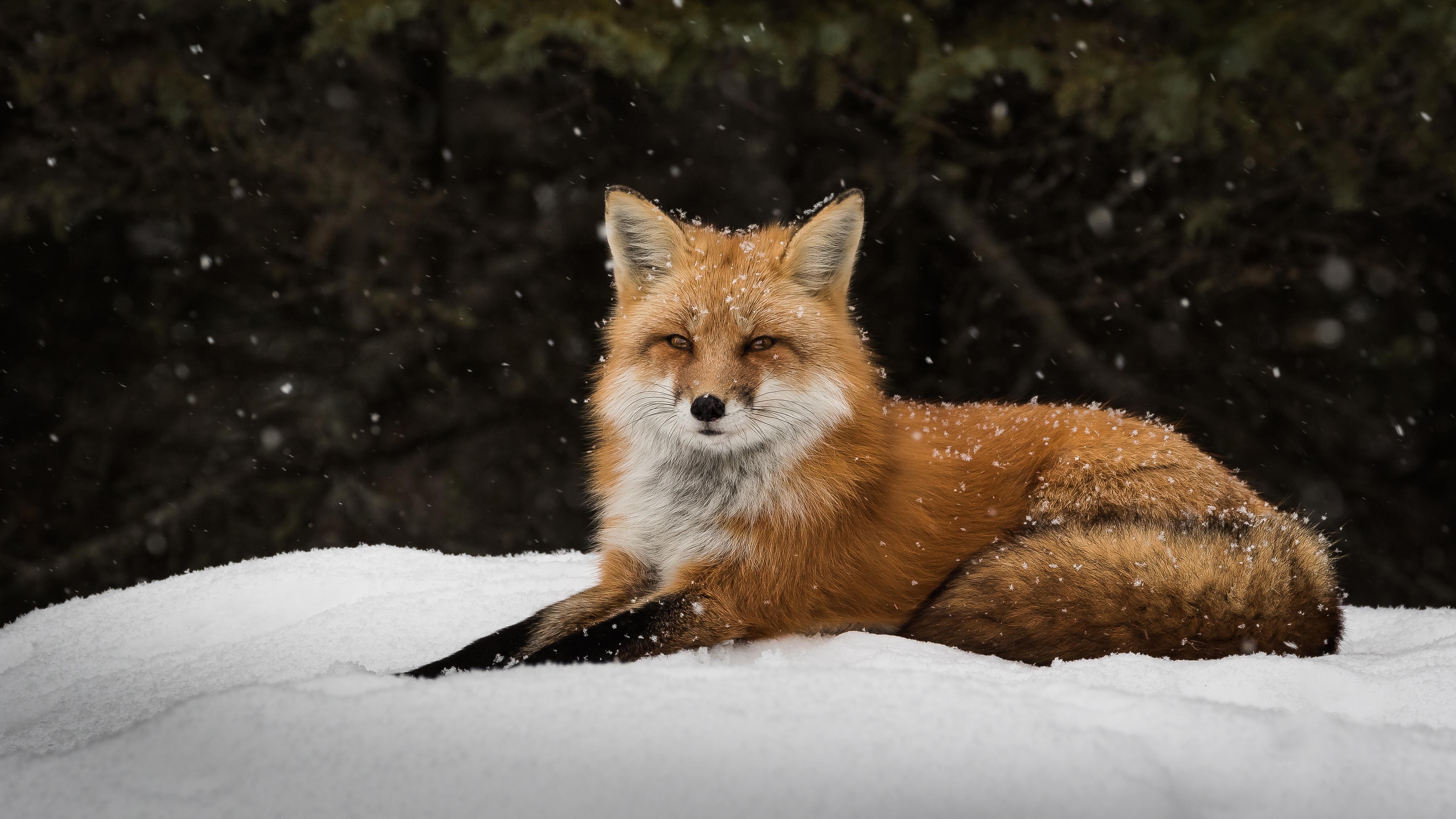 Обои лежит, на снегу, Хищник. Животные foto 15