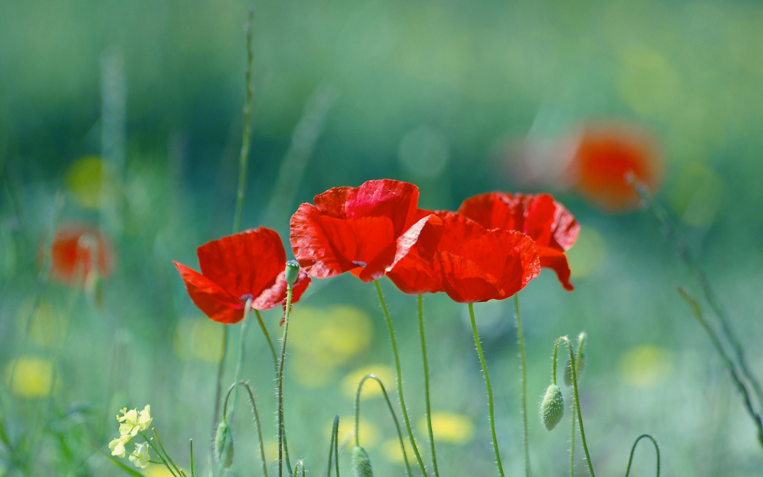 поле маки цветы  № 1877281 бесплатно