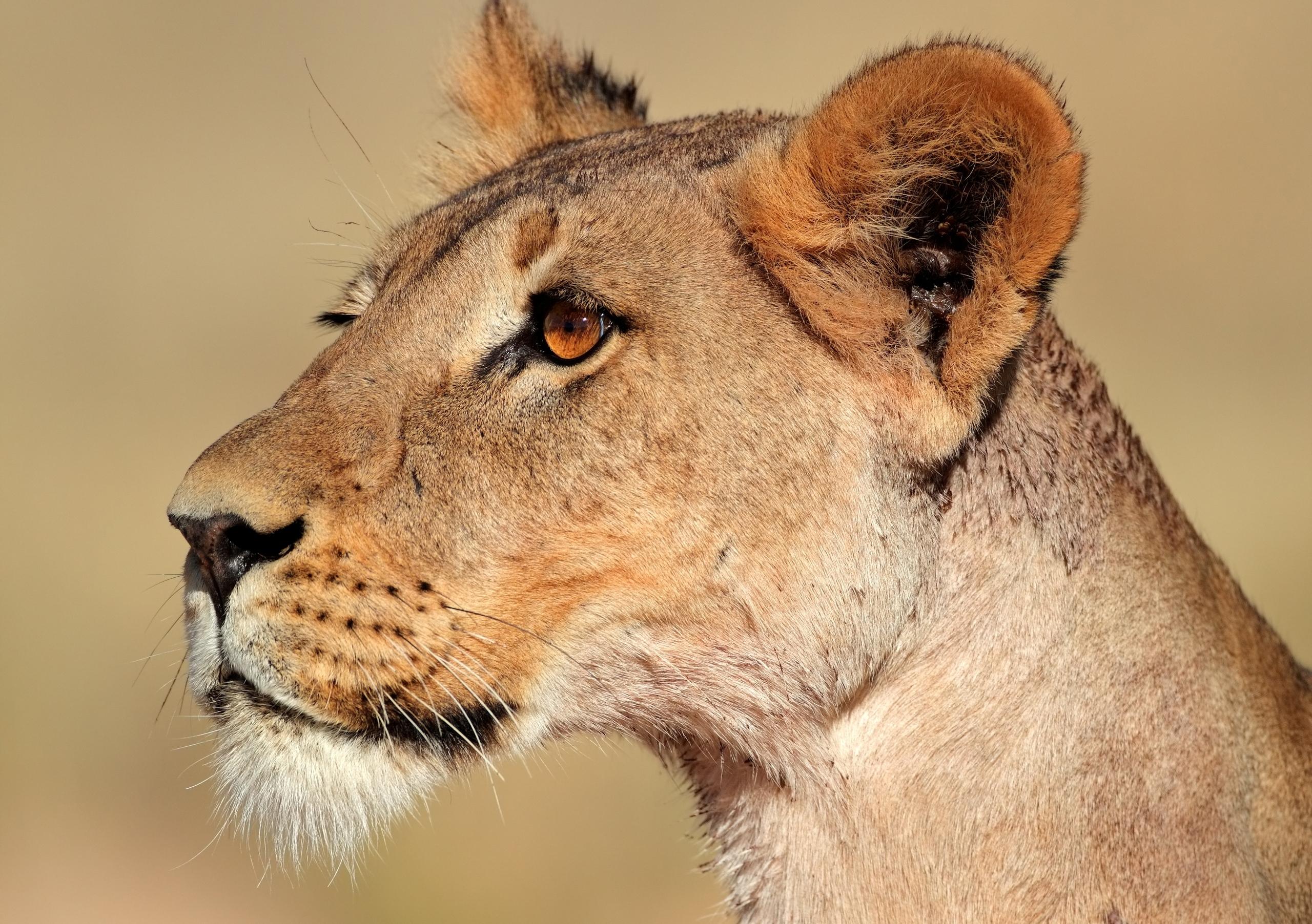 Открытку любви, картинка с львицей
