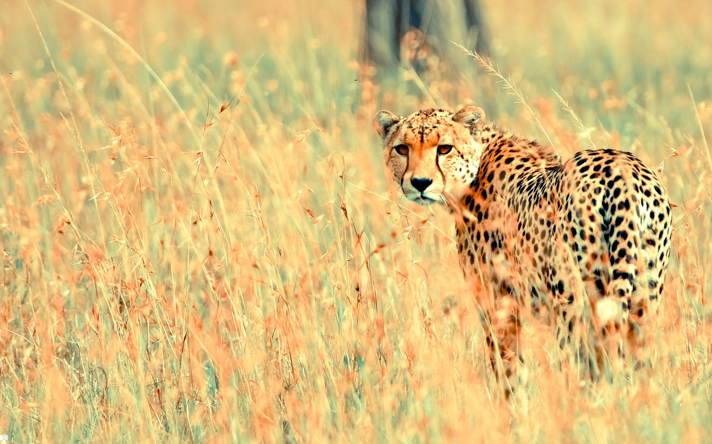 природа животные Гепарды камни трава дерево горизонт  № 276712 загрузить