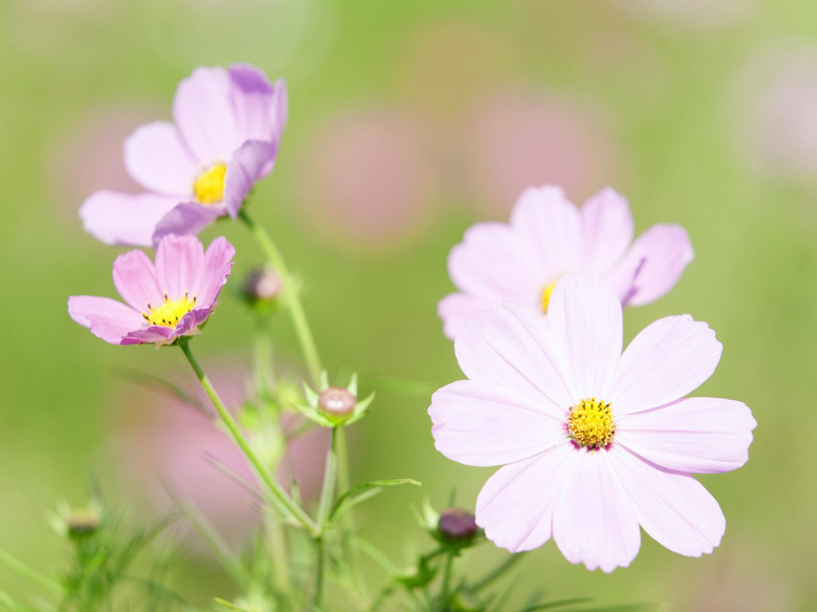 ромашка цветы фокус  № 1096391 без смс