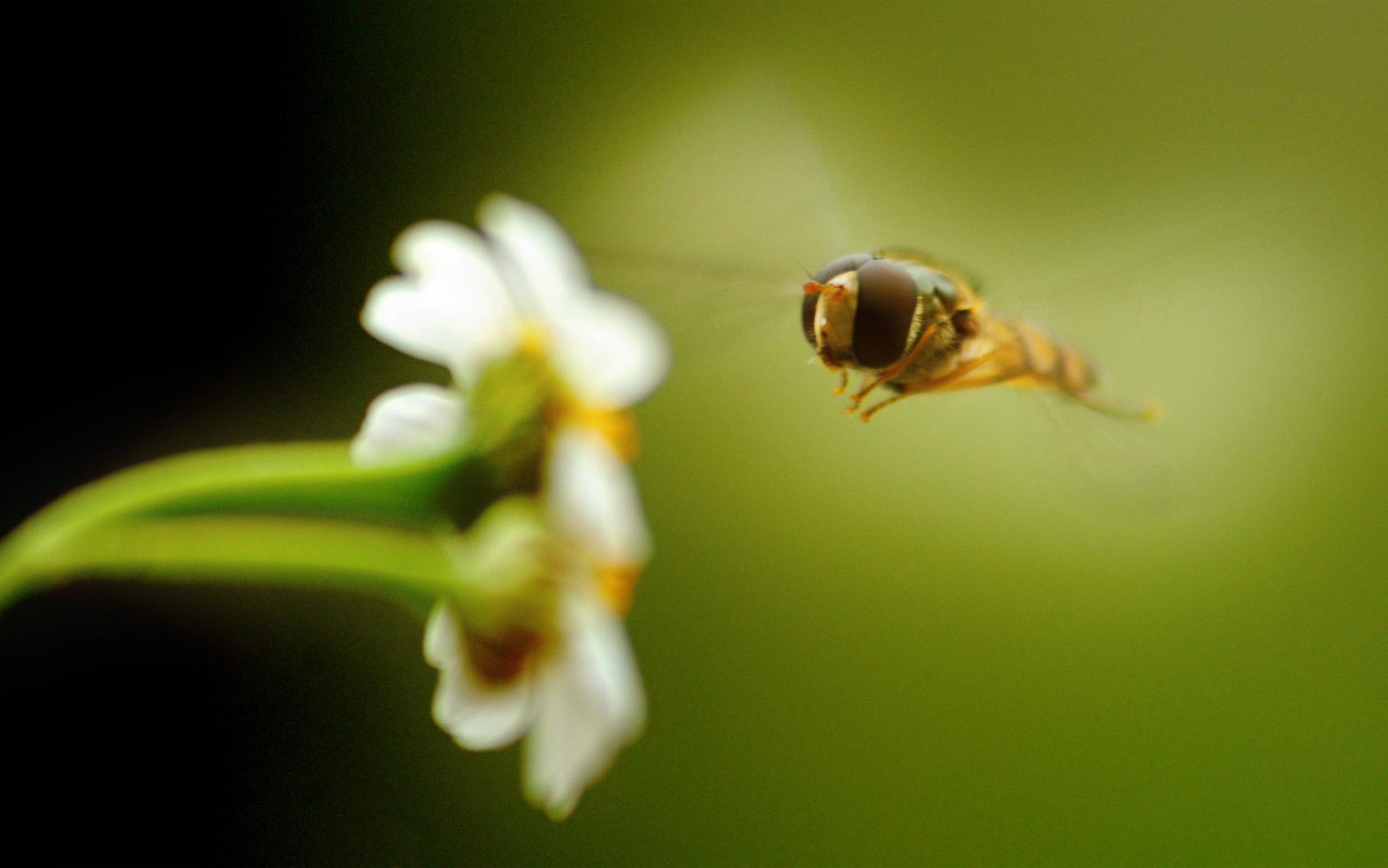 макро одуванчик животное насекомое пчела цветы природа  № 3007355 без смс
