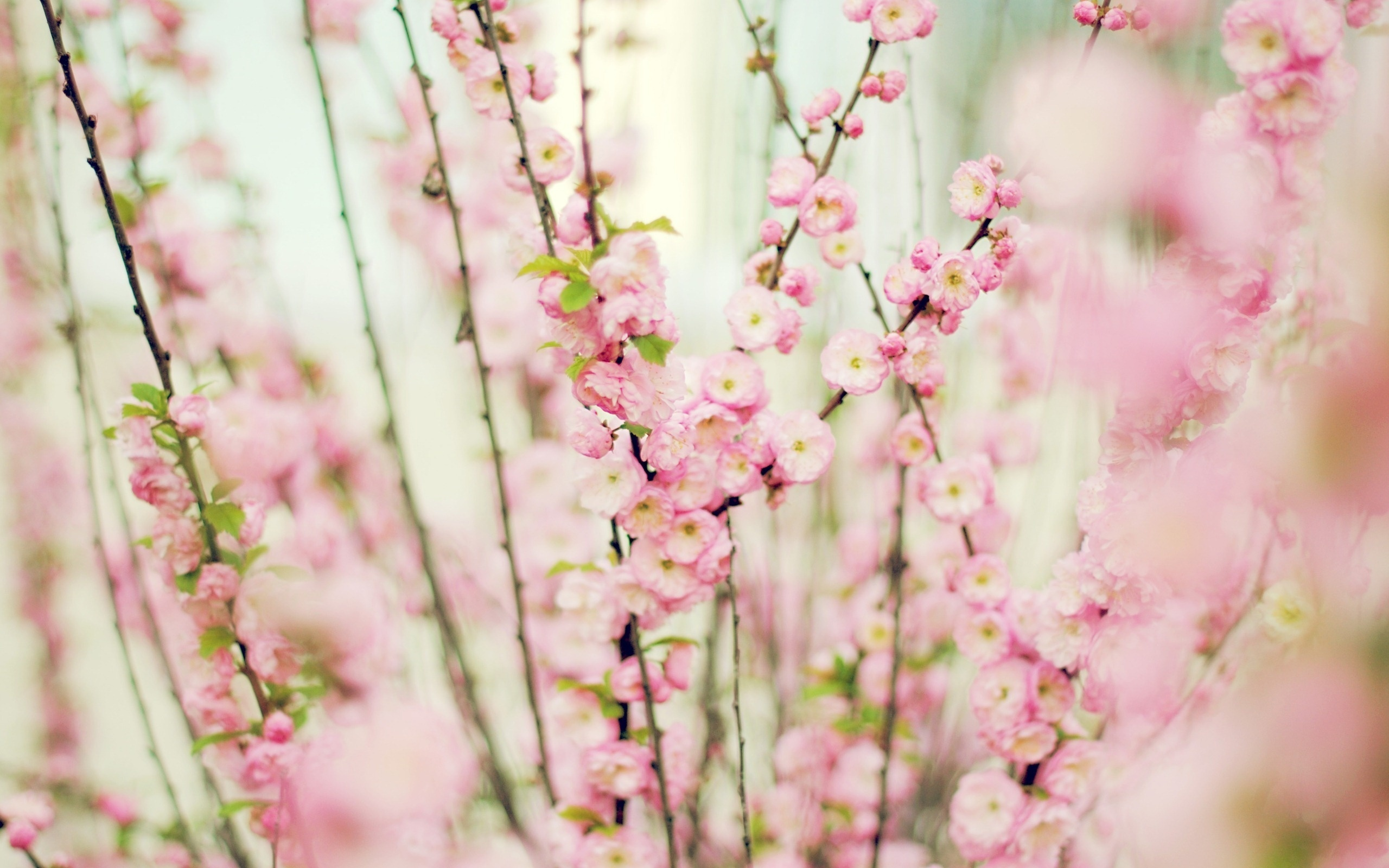 нежные цветочки на ветке скачать