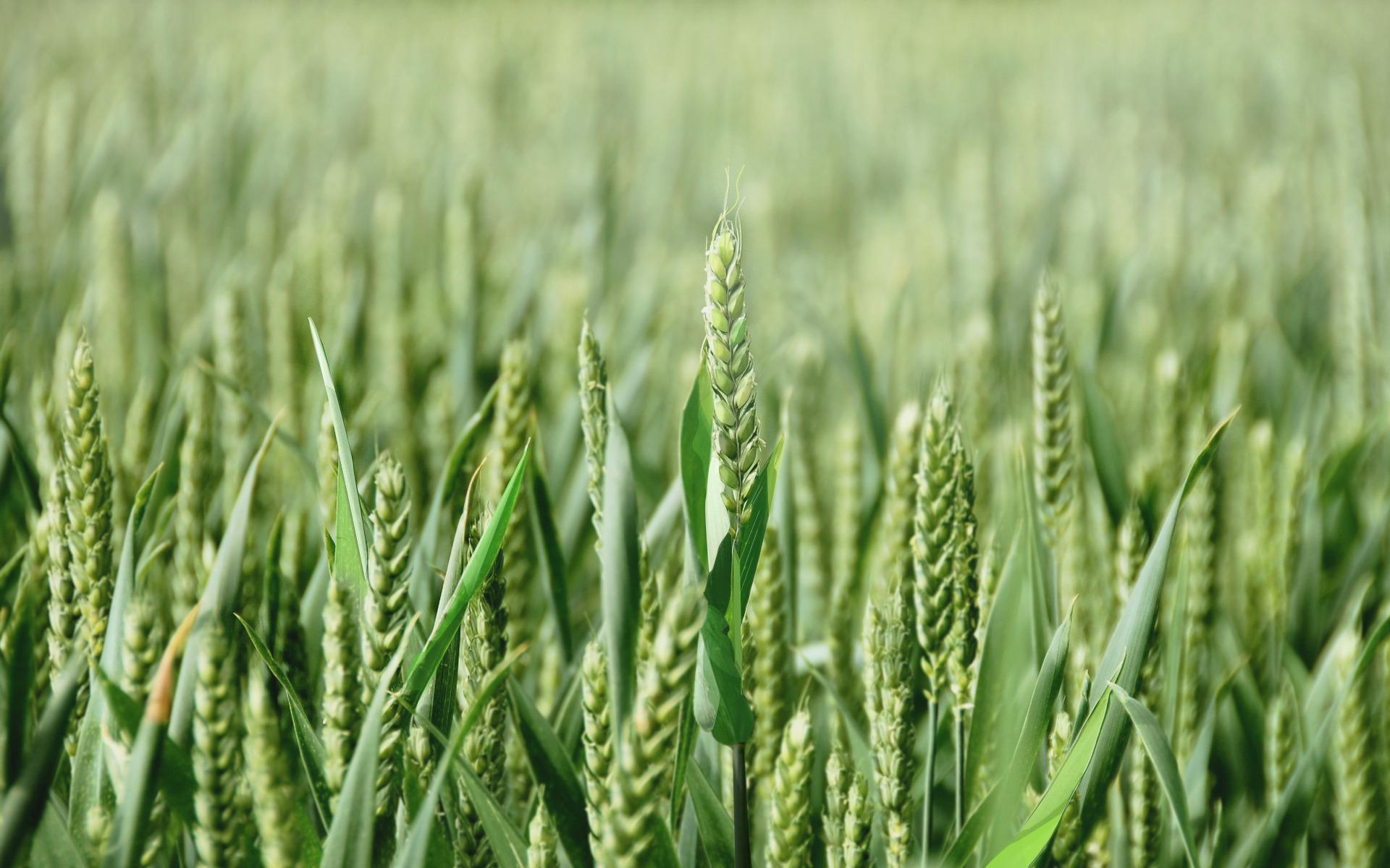 Зеленая пшеница  № 2559212  скачать