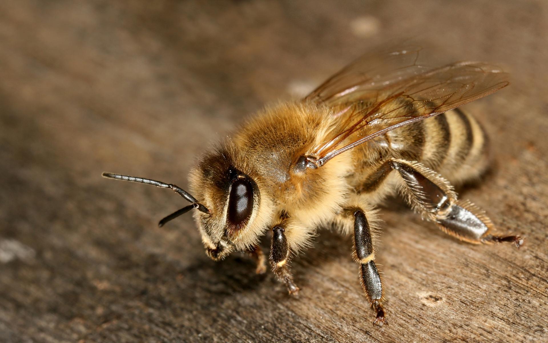 Пчелы без смс