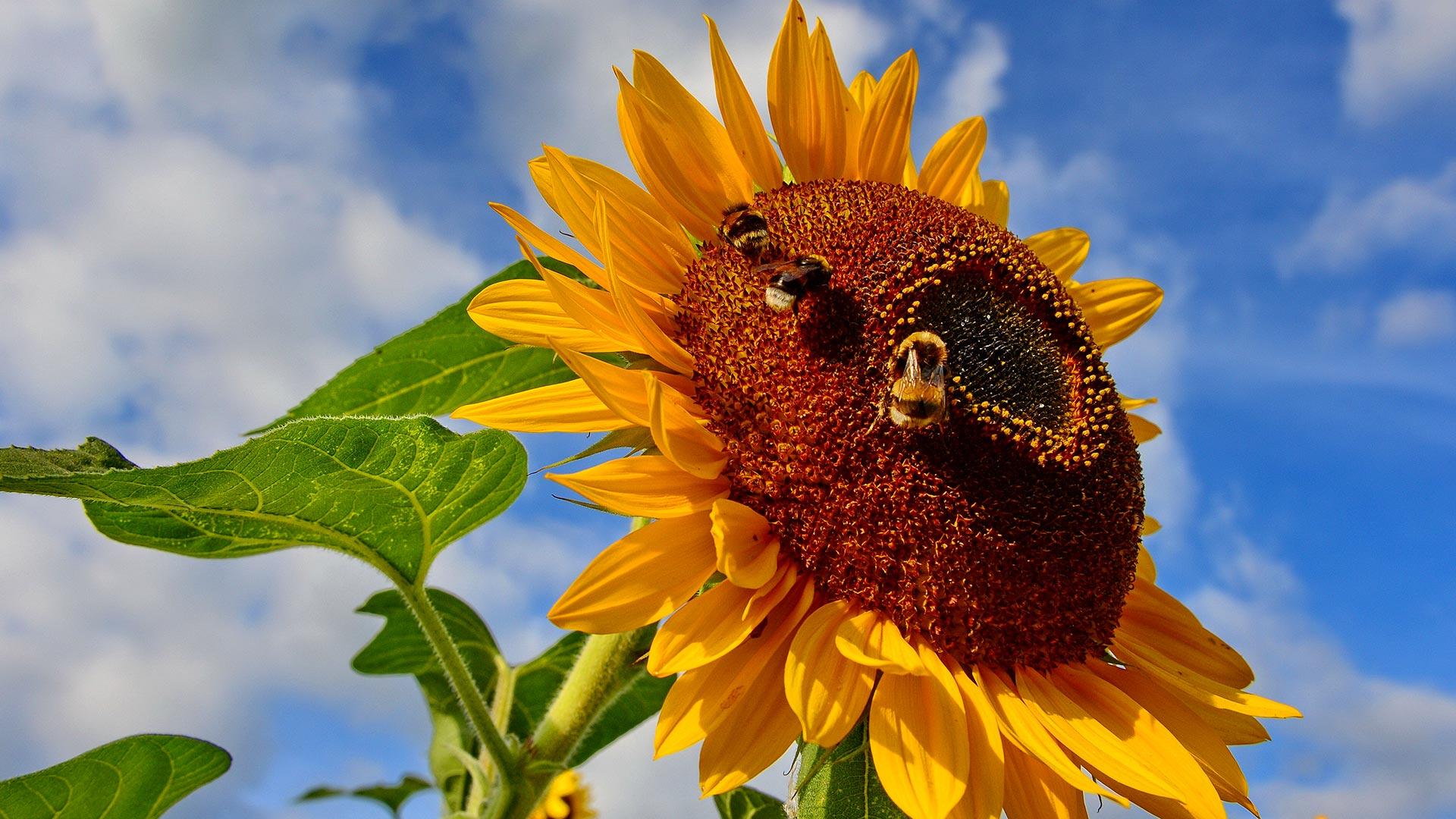 Пчела на подсолнухе  № 657729 бесплатно