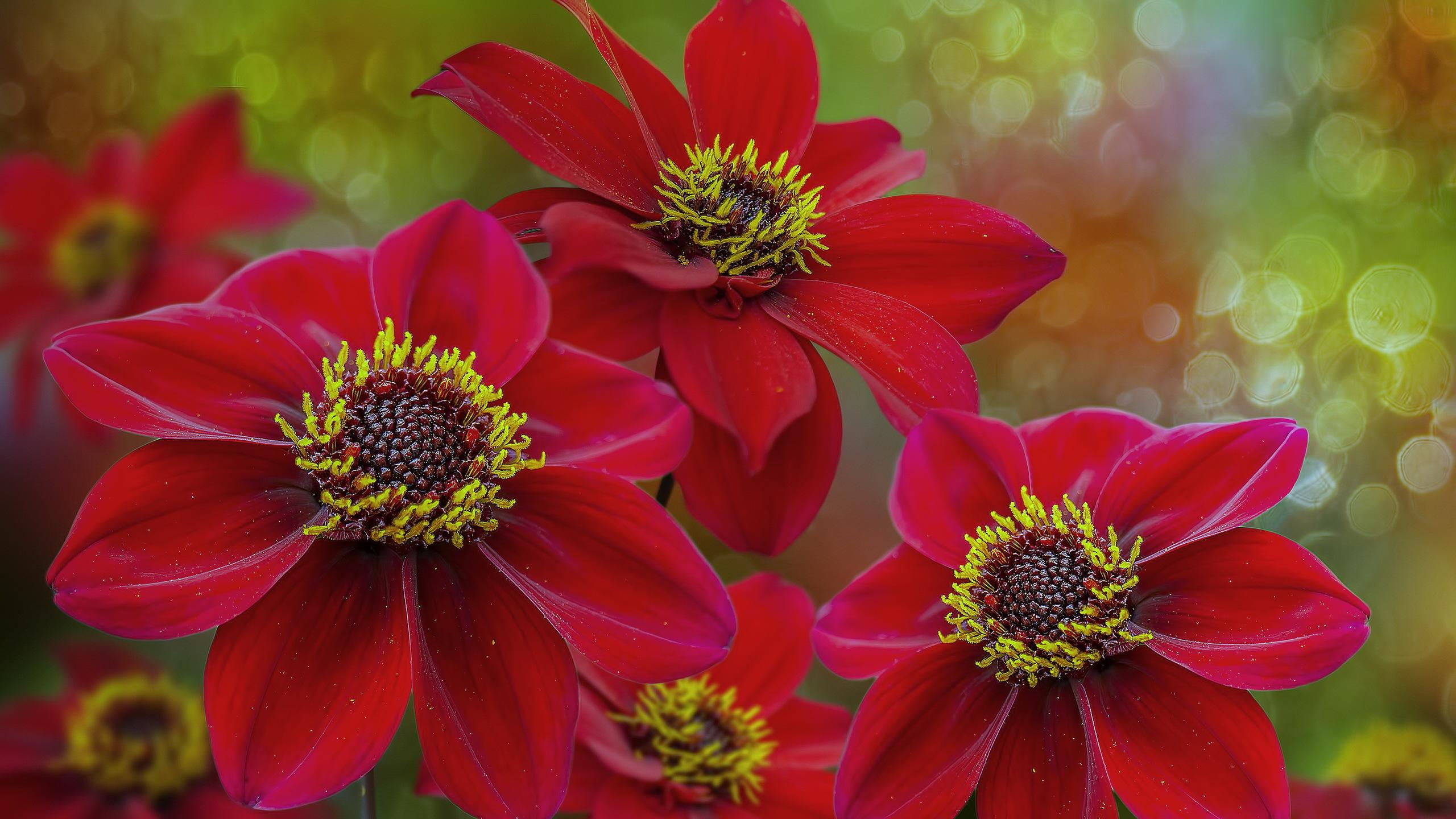 георгина цветок капли без смс