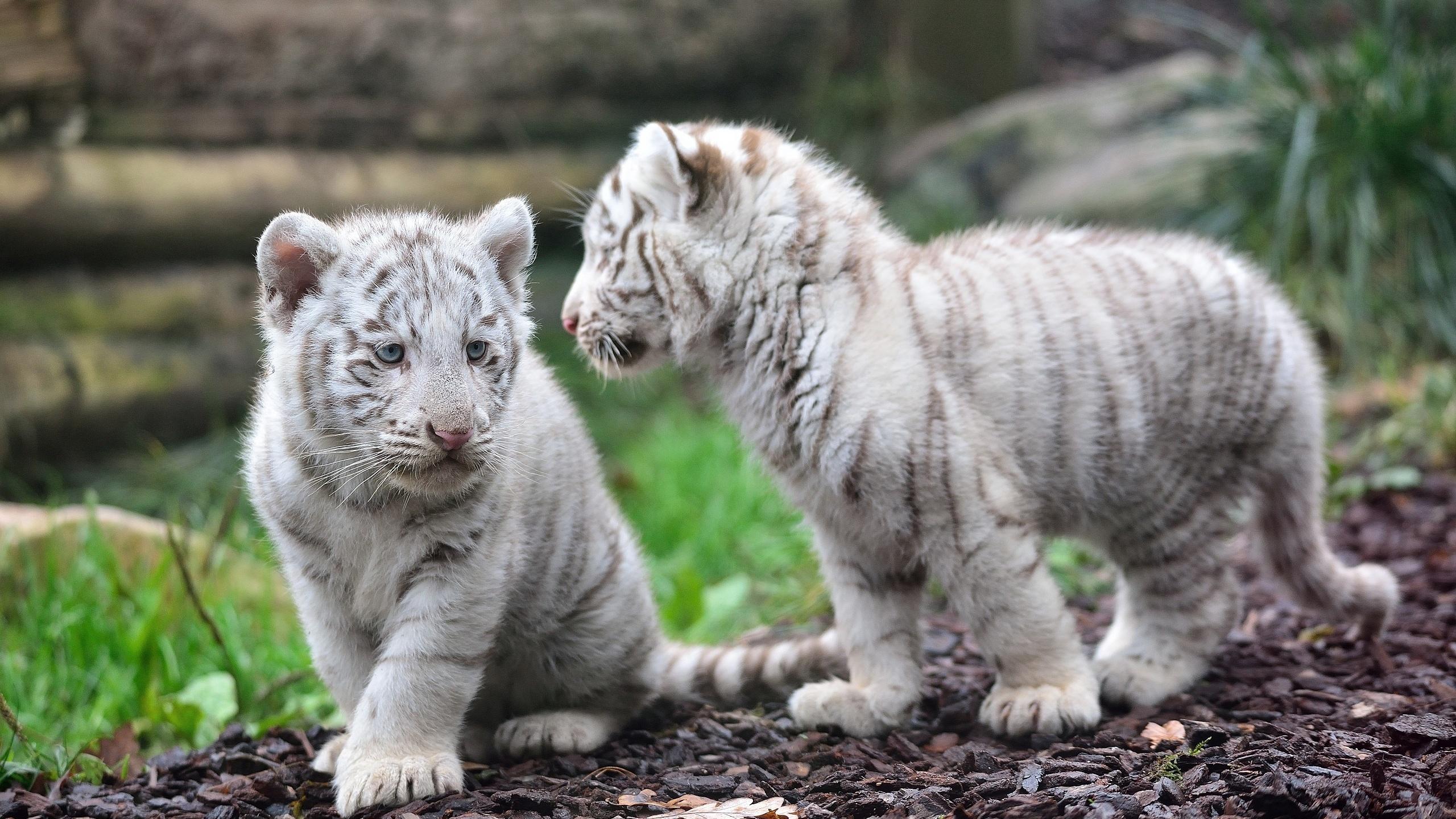 природа животные кот белый nature animals cat white  № 102708  скачать