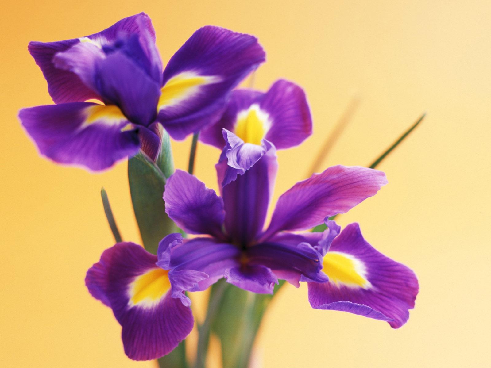 Цветы открытки ирис