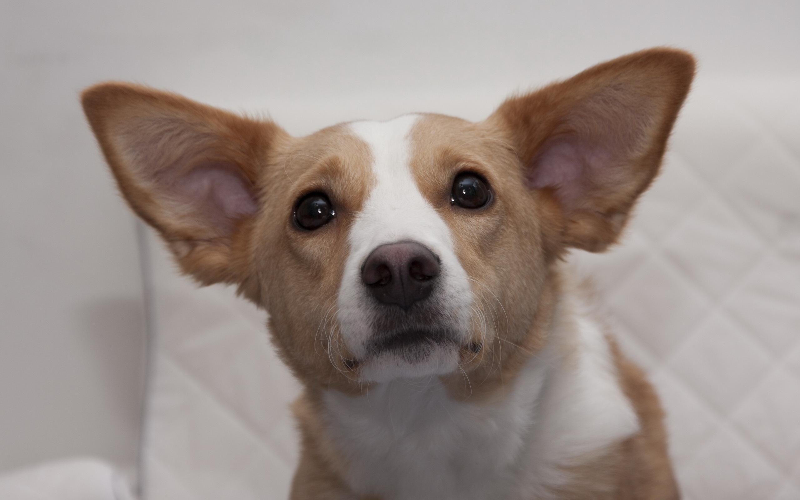собака мордочка уши  № 1069385 бесплатно