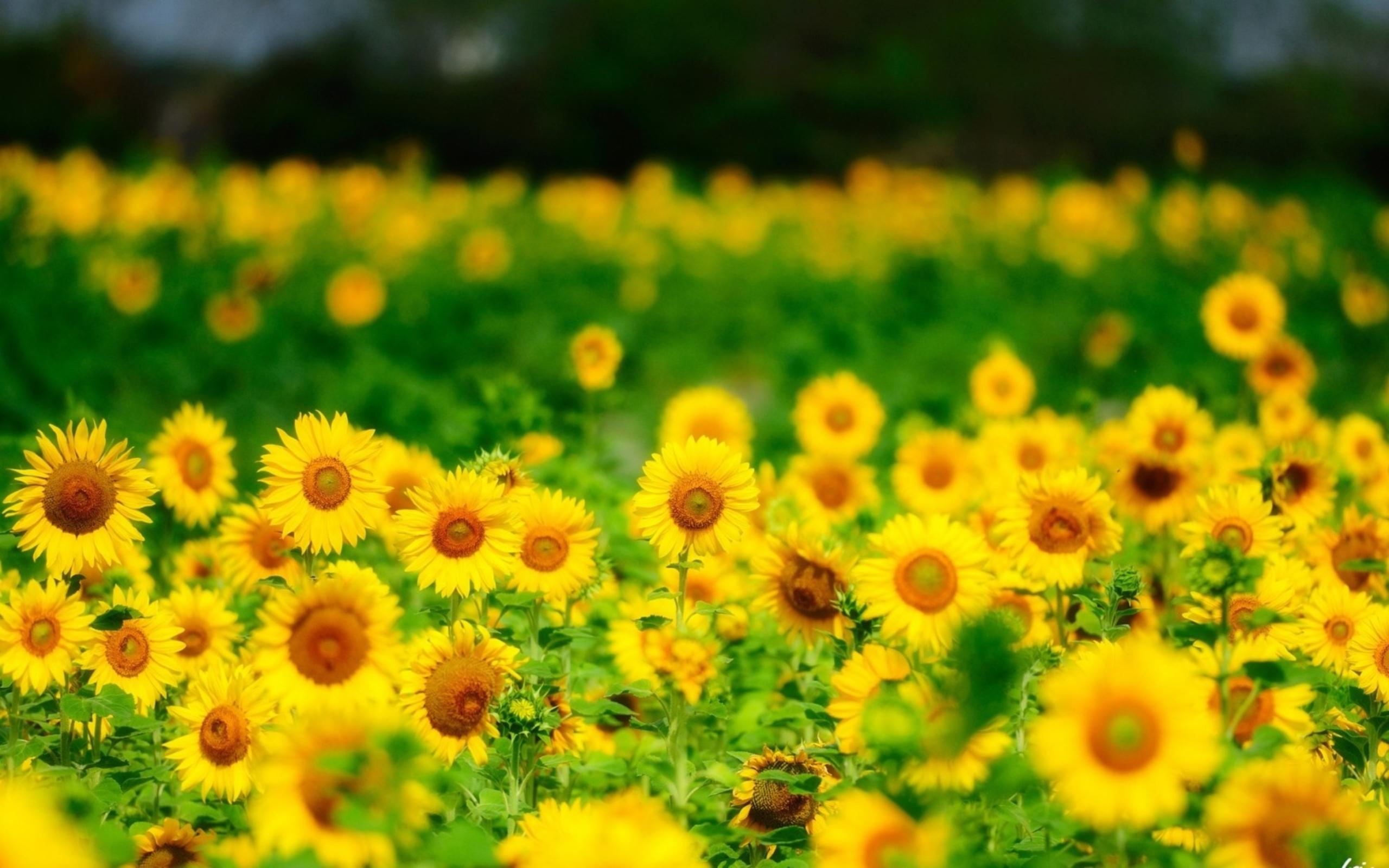 природа цветы подсолнечник  № 2671854  скачать