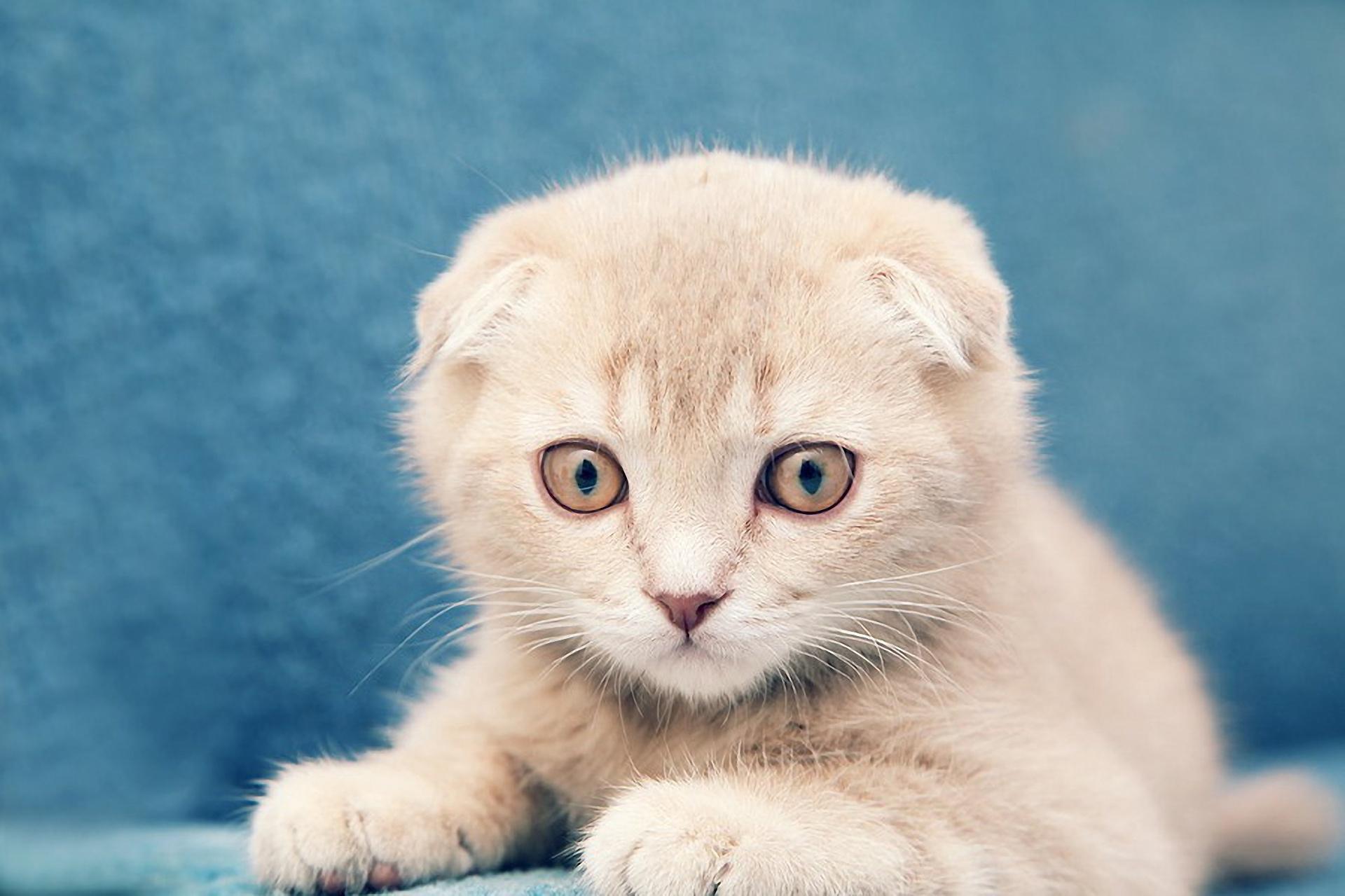 Шотландские вислоухие котята фото на рабочий стол