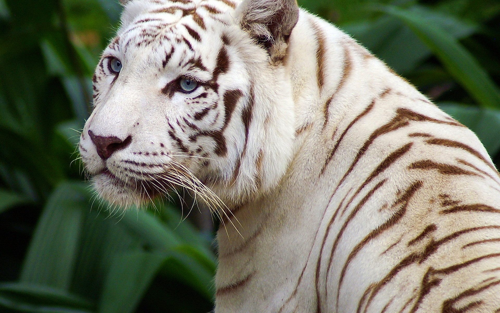 Днем февраля, открытки белый тигр