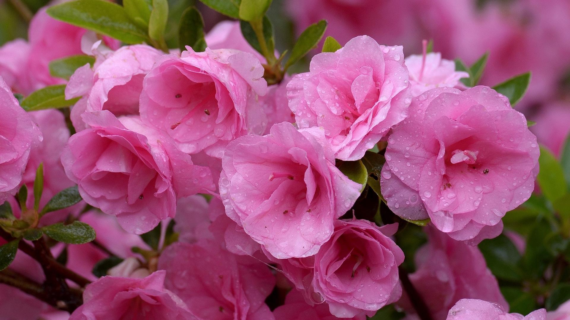 природа цветы азалии без смс