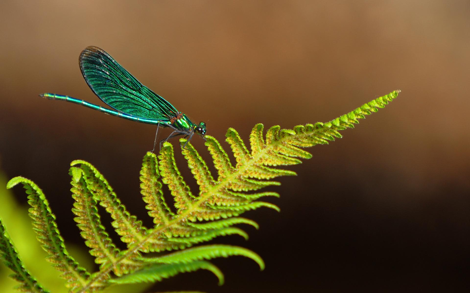бабочка папоротник  № 3138469 бесплатно